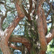 Le Boswellia, l'arbre à encens
